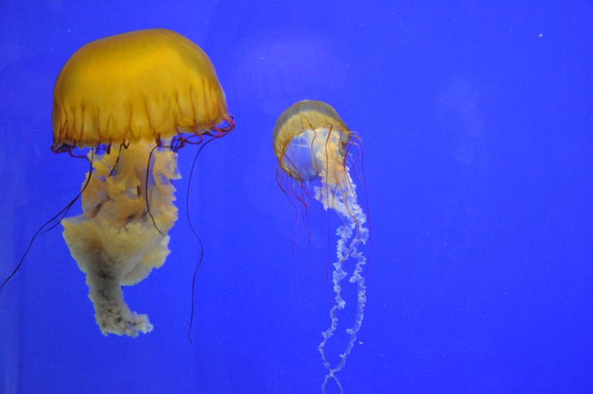 Jellyfish, Oregon Coast Aquarium, 2010