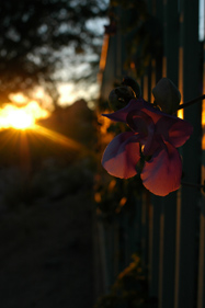 Sunset behind the petals, 2009