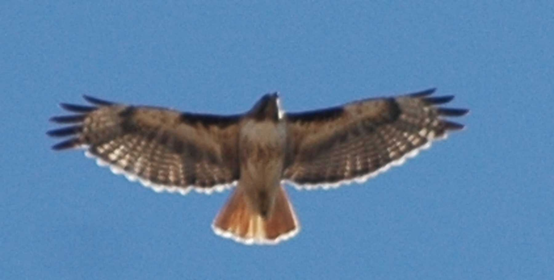Joe Dobrow photo of a red tail hawk