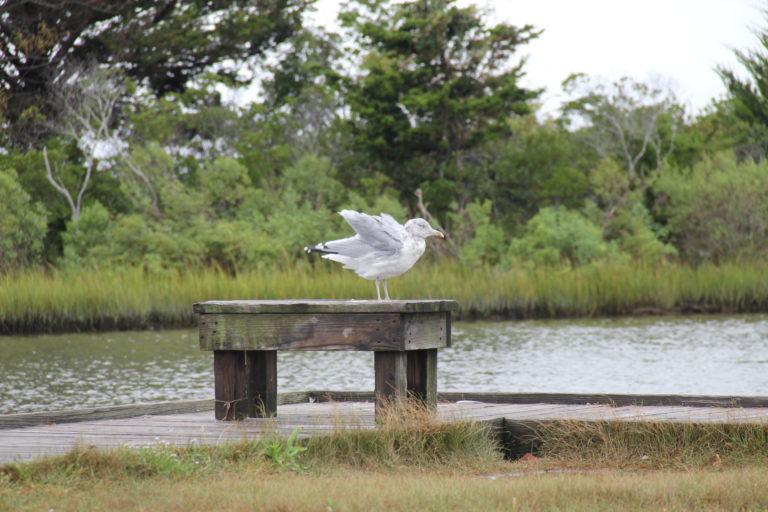 Joe Dobrow photo of a seagull at Assateague Island