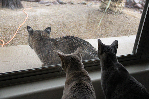 Joe Dobrow picture of two cats and a bobcat