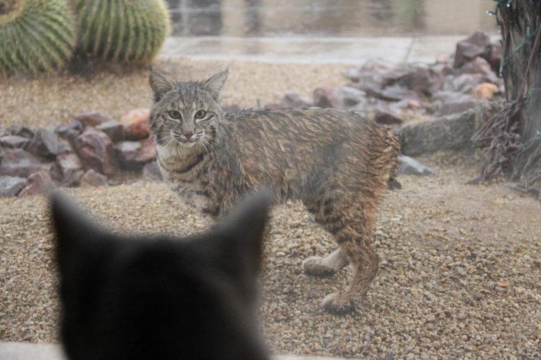 Joe Dobrow photo of a wet bobcat