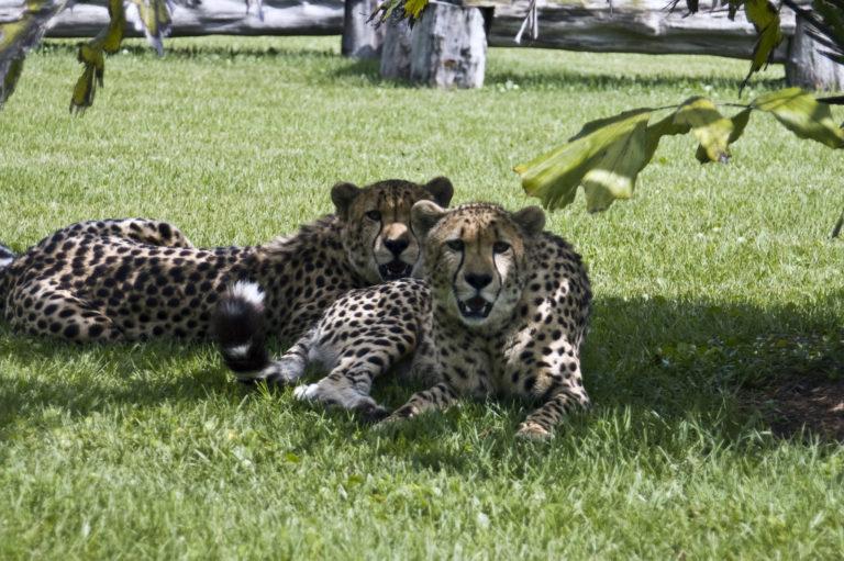 Joe Dobrow photo of cheetahs at Panther Ridge