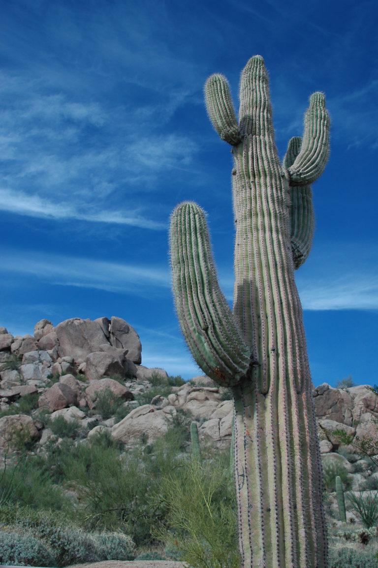 Joe Dobrow photo of a saguaro cactus